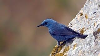 ציפורי שיר בישראל  -   Songbirds in Israel