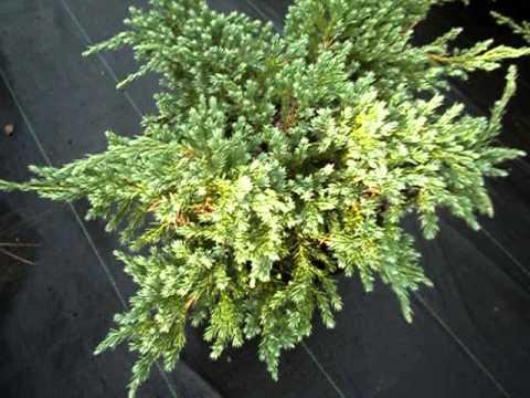 Juniperus squamata blue carpet youtube - Juniperus squamata blue carpet ...