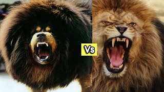 Can a Tibetan Mastiff Dog really kill a lion?