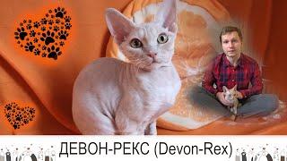 Девонрекс (Devon Rex)  КОТ почти без хлопот!