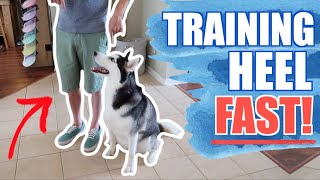 Train Any Siberian Husky Or Dog To HEEL PERFECTLY! WATCH THIS VIDEO! (3 EASY TRICKS)