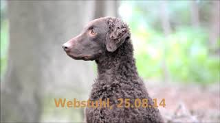 Working CURLY COATED RETRIEVER