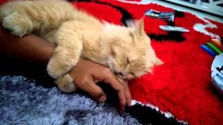 Download Video Kucing sangap rogol lengan tuannya MP3 3GP MP4