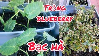Trồng Cây Việt Quất (Blueberry), Chiết đám Bạc Hà nhảy con trồng vườn nhà