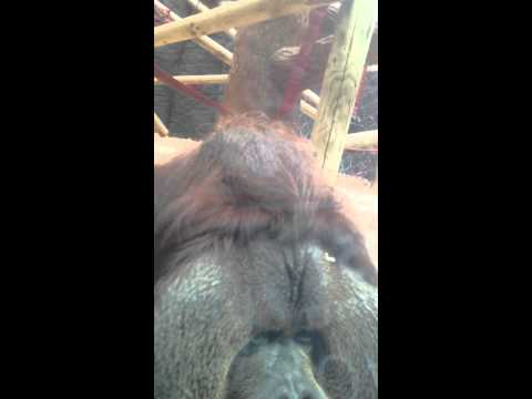 Orangutan Kisses Pregnant Woman's Belly - Colchester Zoo