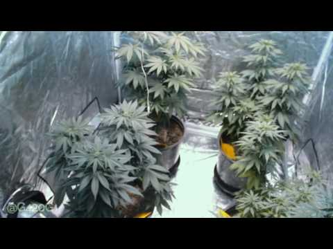 Grow Vlog Day 81 Bubba Kush and Green Crack