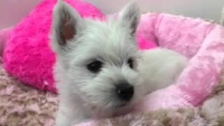 犬種☆ウエストハイランドホワイトテリア 性別☆女の子 誕生日☆12月11日 ...
