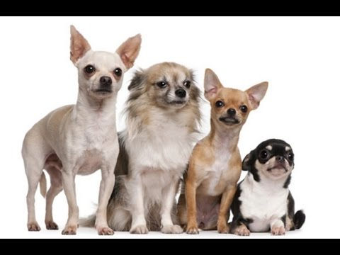 Simple Tips on How to Train a Chihuahua Puppy