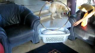 Lola - Golden Retriever Labrador Mix - Sprung