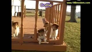 Collie, Puppies, For, Sale, In, Badger, County, Alaska, Ak, Kink Fairview, College