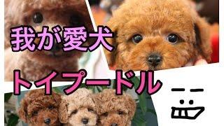今回は我が愛犬、トイプードルのプーちゃんの紹介です(*゚▽゚*) プードル...