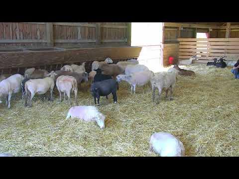 Sheep Barn Cam 05-25-2018 08:22:26 - 09:22:27