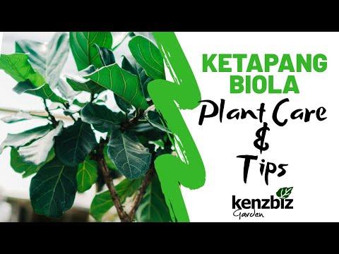 [#PlantCare] PERAWATAN DAN TIPS TANAMAN KETAPANG BIOLA | FIDDLE LEAF FIG