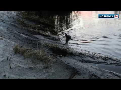 Жители Ноябрьска спасли загнанного хищником в озеро зайца