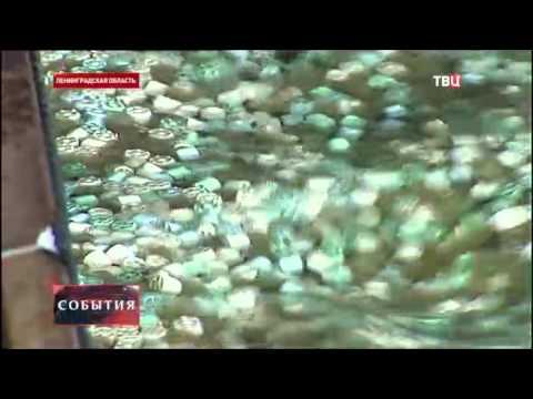 В Ладожское озеро выпустят 160 тысяч особей палии