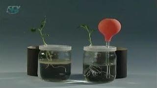 Корень. Значение воздуха для роста и развития корня
