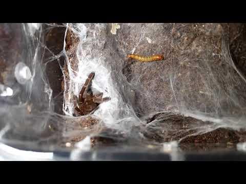 Ceratogyrus darlingi feeding video