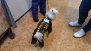 китайская хохлатая собачка - осенний комбинезон