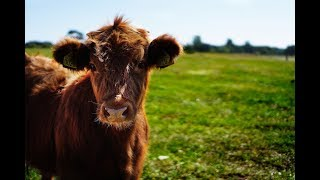 Cow Diagnosed 30 Days Pregnant with RKU-10 Ultrasound Machine