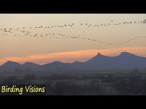 Spectacular flight of Sandhill Cranes - Whitewater Draw Arizona