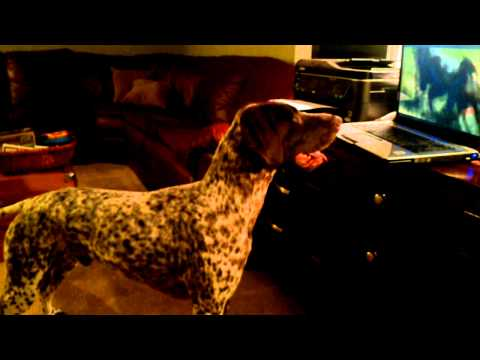 German Shorthaired Pointer watches GSP video