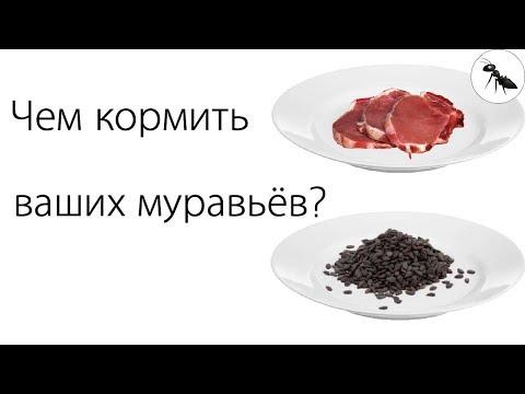 Чем кормить муравьев?