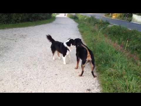 Rottweiler VS Aussie (Australian Shepherd)