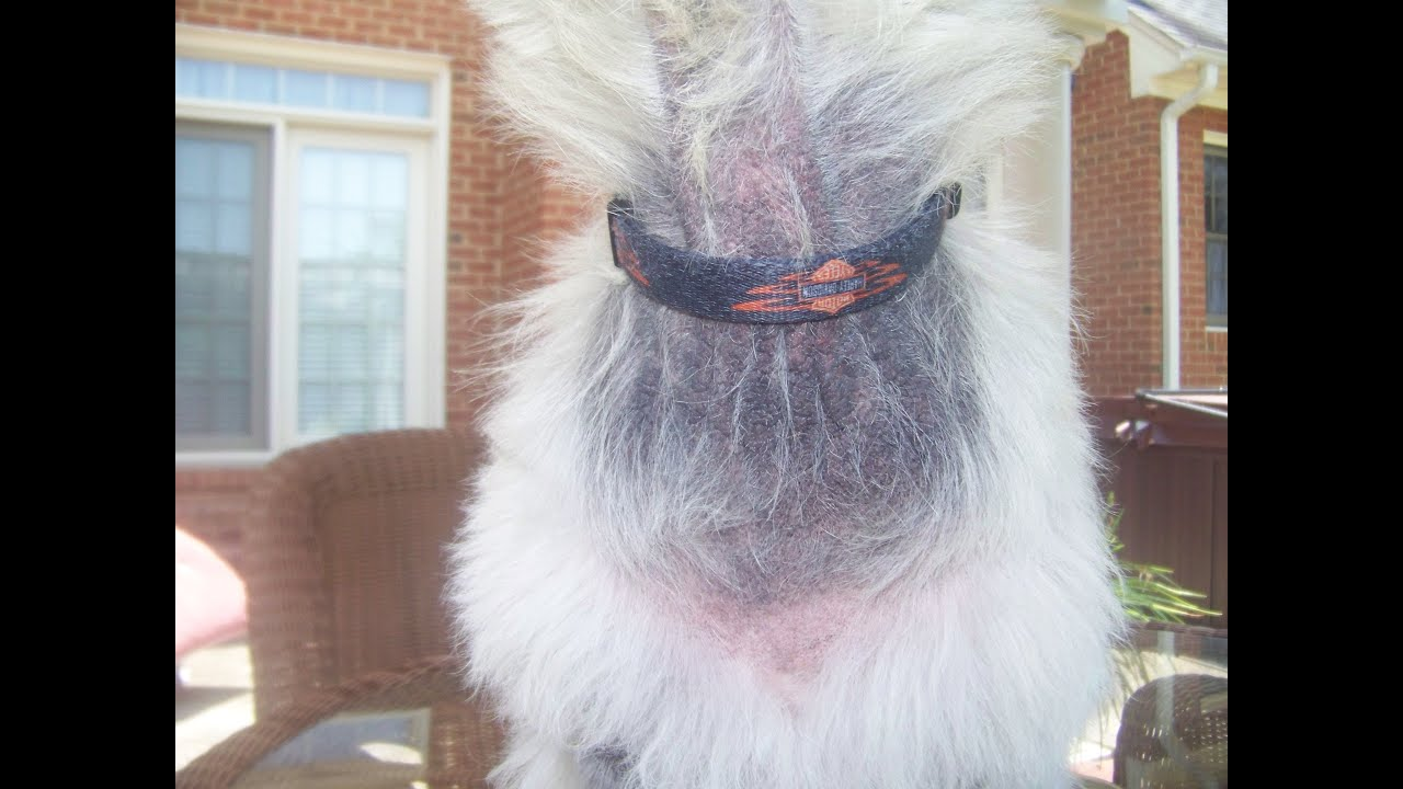 Skin Amp Ear Infections Cured In A Westie Dog Pt 2 Of 2