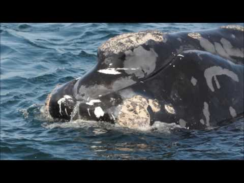 Identifying and Reporting North Atlantic Right Whales