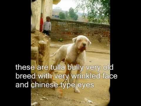 Bully Kutta Types Bully Breeds Found In Pakistan