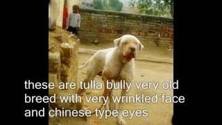 bully kutta types, bully breeds found in pakistan.