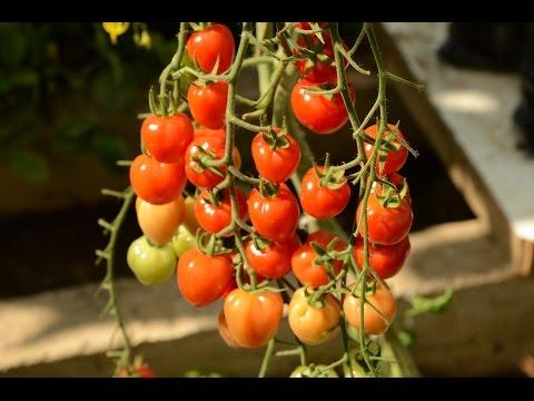 Лучшие сорта томатов сезона 2016 года. Критерий оценки - красота.