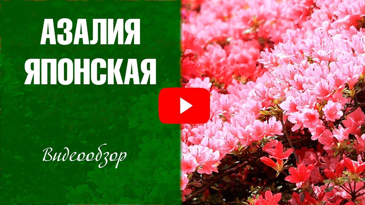 Азалия японская ✅ Посадка и уход за цветами ✅ Цветоводство