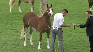 Merlod Cym Cob Eboles/Adfarch 2fl | Welsh Ponies Cob Filly / Geld 2yr