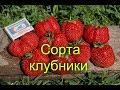СОРТА КЛУБНИКИ.