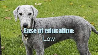 BEDLINGTON TERRIER ► Characteristics and temperament