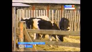 Арестованных коров нечем кормить