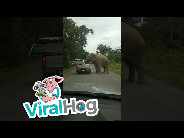 Elephant Searches for Food