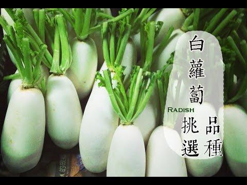 【冬】白蘿蔔如何挑選才好吃?