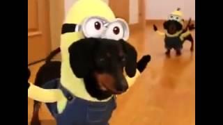 ► Minions - Dog / Прикольное видео Миньоны. Собаки в костюмах Миньонов.