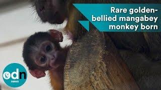 Rare golden-bellied mangabey monkey born at Budapest Zoo