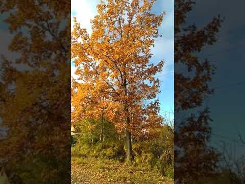 Как листья падают с дерева. Красота это нужно смотреть