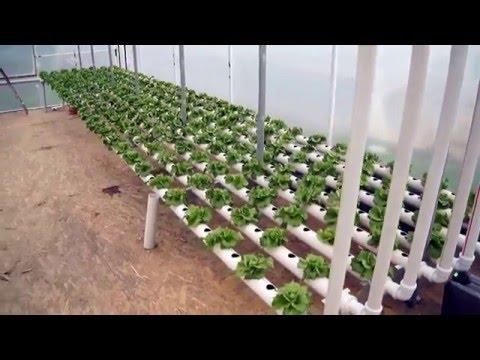 Topraksız tarım iceberg marul yetiştiriciliği