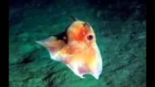 dumbo octopus Josephine & Ayden Thumbnail