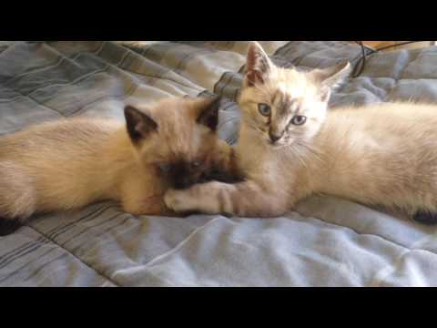 Siamese siblings grooming one another