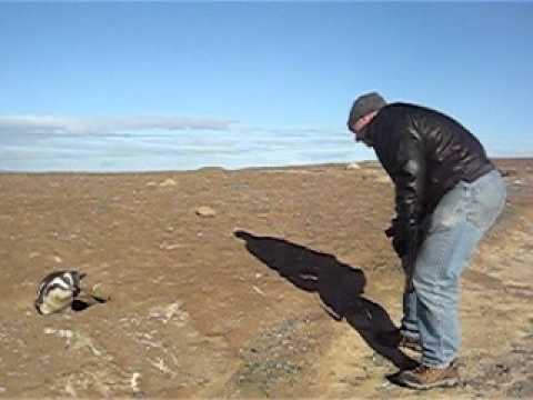 Penguin meets American Tourist in Patagonia.AVI