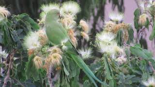 Попугай Крамера на дереве Альбиции!Psittacula Kramera.Кирьят-Моцкин.Израиль.Kiryat-Mozkin. Israel.