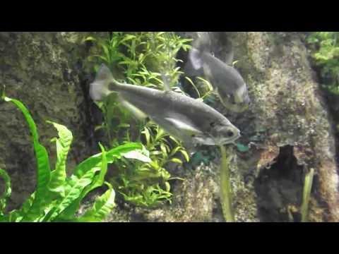 Aggressive Aquarium Fish Predators, Hydrolycus Scomberoides