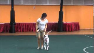 Dog Training Video Singapore - Oscar, The Deaf Dalmatian