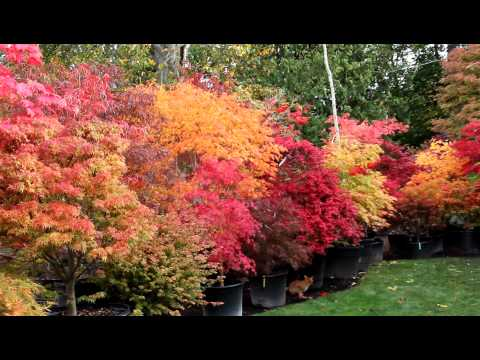 Amazing Maples - fall 2011 Japanese maple trees